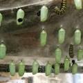 monarch butterfly chrysalises
