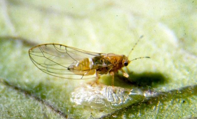 potato psyllid - Bactericera cockerelli