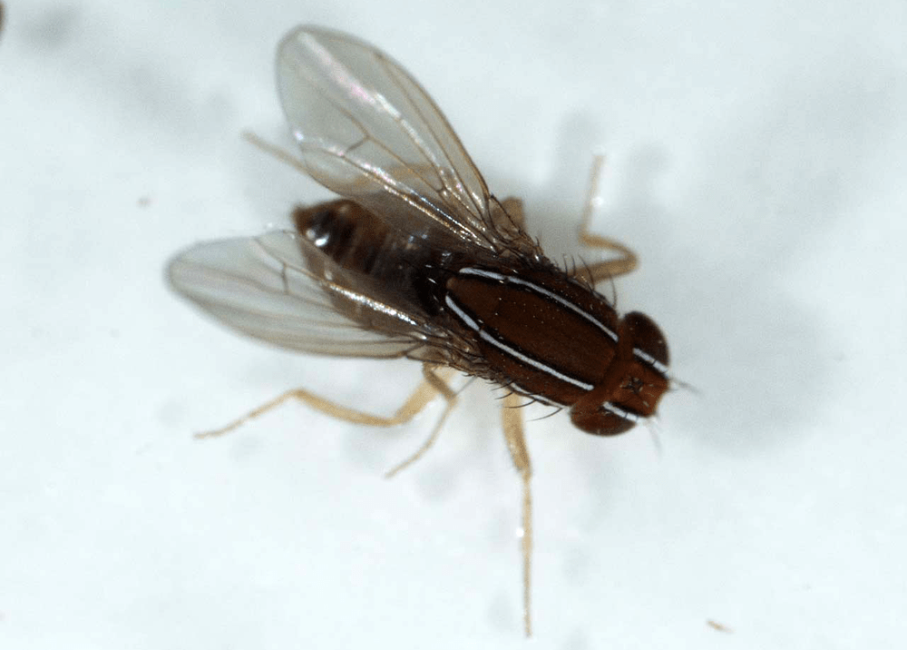 Drosophilid Melting Pot: African Fig Fly Meets Spotted-Wing Drosophila in the U.S.