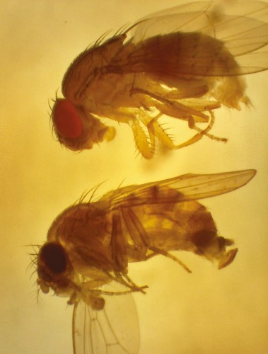 African fig fly and spotted-wing drosophila