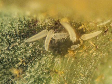 Eriophyes dimocarpi