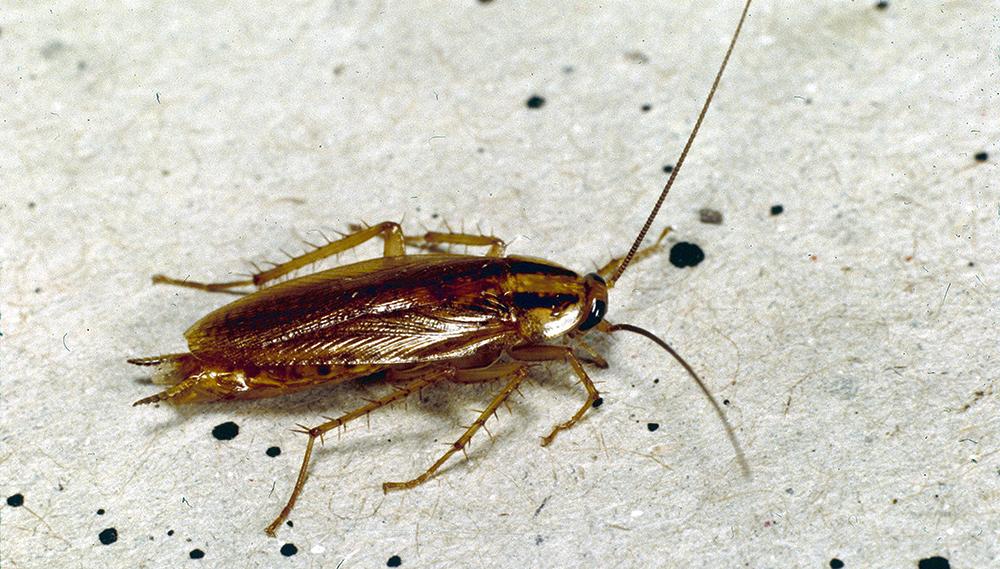 Kabar Buruk untuk Pembenci Kecoak: Serangga Ini Bakal Makin Kebal Insektisida