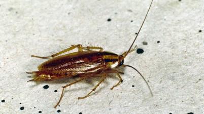 German cockroach - Blattella germanica