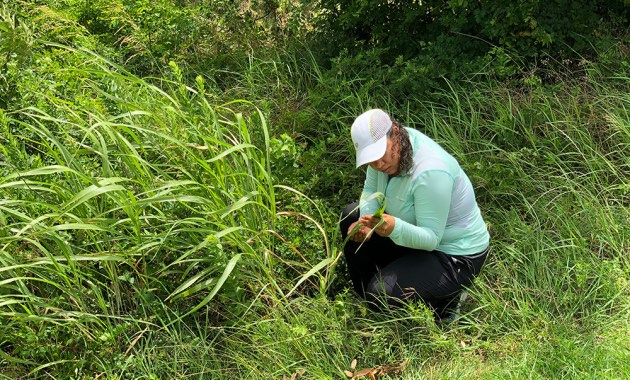 Inspecting Johnson grass leave