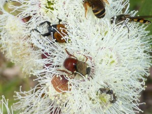 flowering snow gum with insects