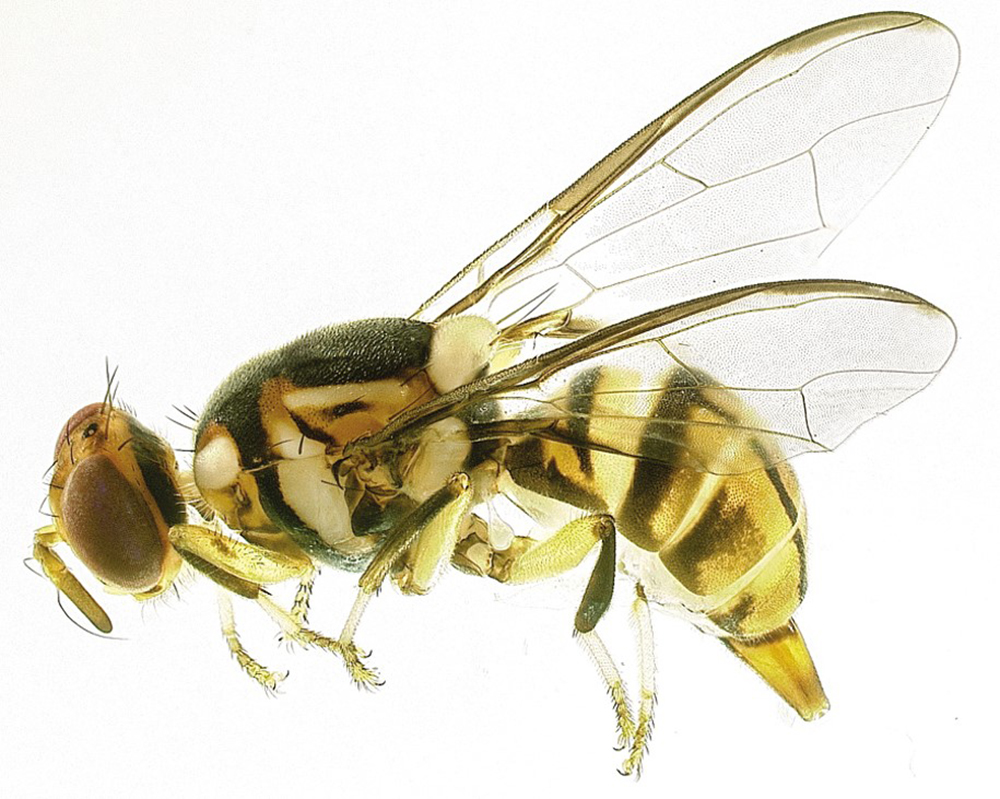 Early Detection, Collaboration Key to Invasive Fruit Fly Eradication in Florida