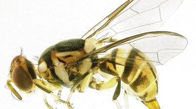 oriential fruit fly - Bactrocera dorsalis
