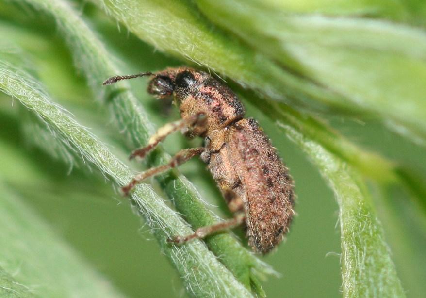 clover root curculio - Sitona hispidulus - adult