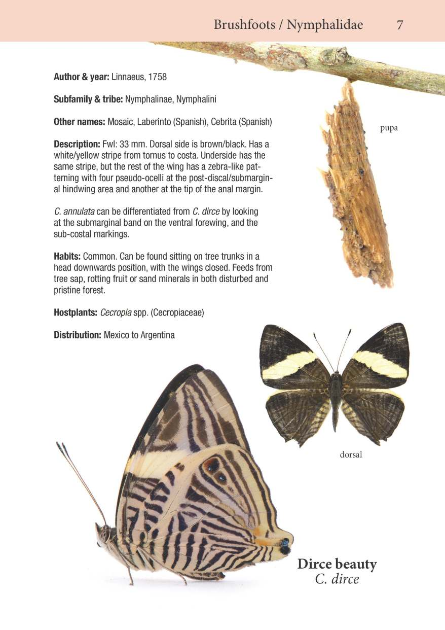 Brushfoots page from Butterflies of the Pipeline Road.