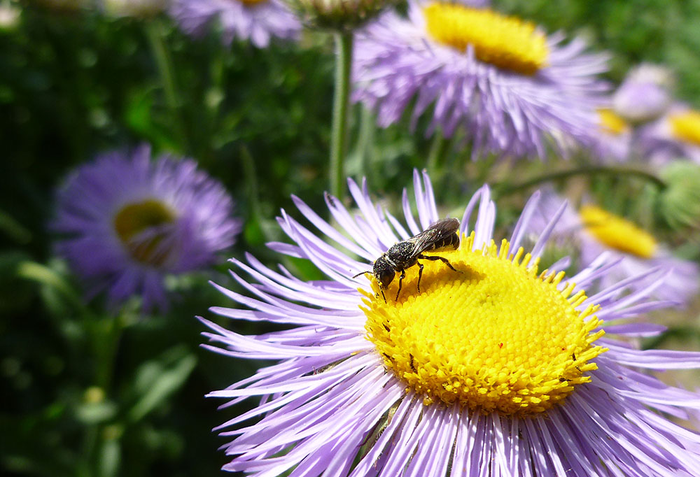 Wildflower Strips Bring Farmers Extra Money While Helping Native Bees