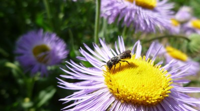 Heriades bee on Erigeron speciosus
