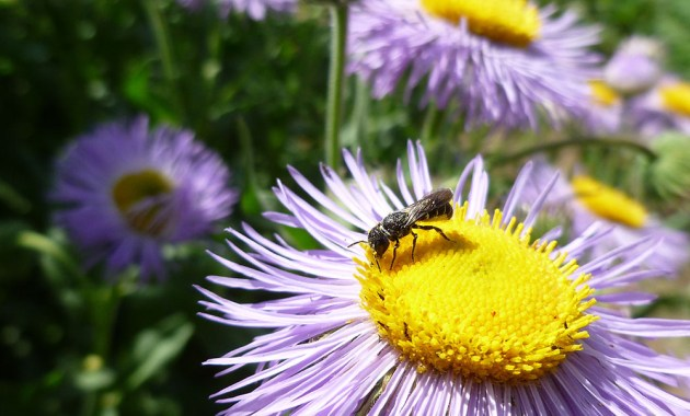 Heriades bee on Erigeron speciosus