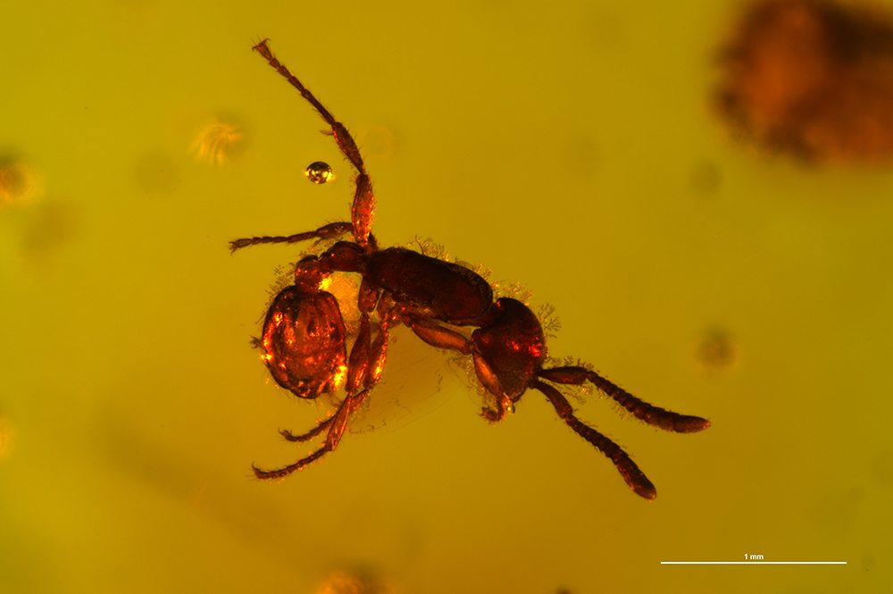 Neivamyrmex ectopus in Dominican amber - Entomology Today