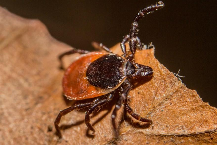 blacklegged tick - Ixodes scapularis