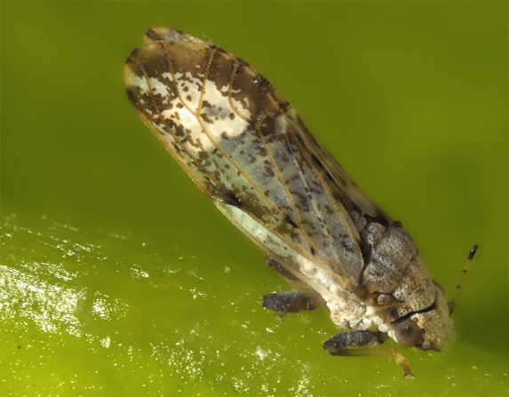 Asian citrus psyllid - Diaphorina citri