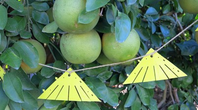 Attract-and-kill devices for Asian citrus psyllid