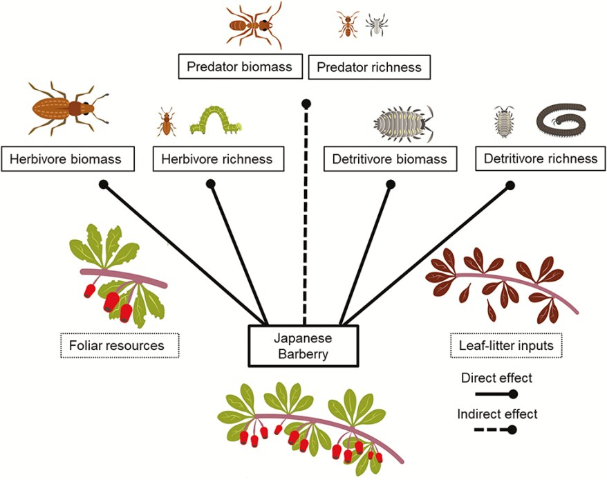 Japanese barberry effect on arthropod food webs