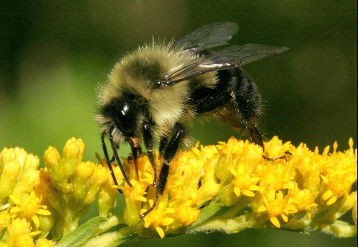 common eastern bumble bee - Bombus impatiens