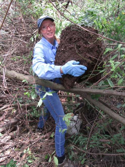 conehead termite nest removal