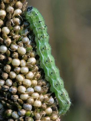 corn earworm on millet