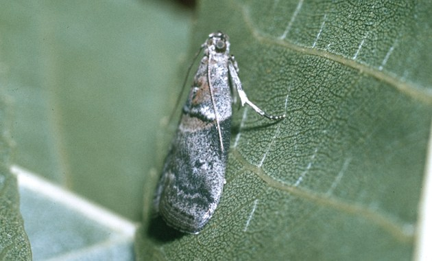 pecan nut casebearer - Acrobasis nuxvorella