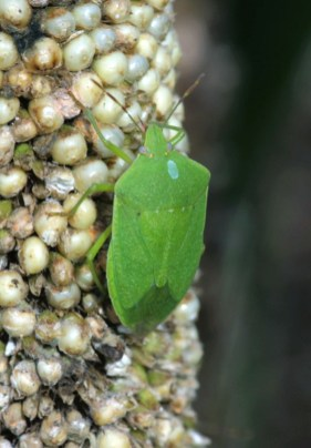 stink bug on millet