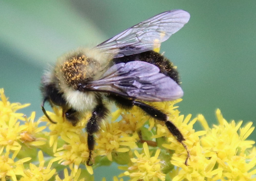 Don't Poop Where You Eat: Bee Defecation on Flowers May Explain Disease Transmission