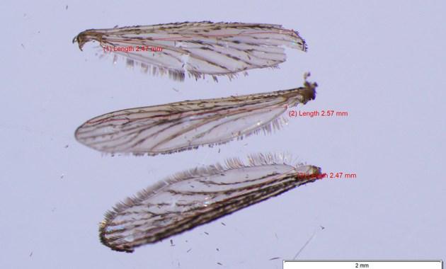 Aedes albopictus wings