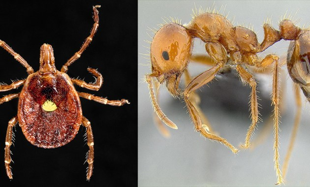 lone star tick and red imported fire ant