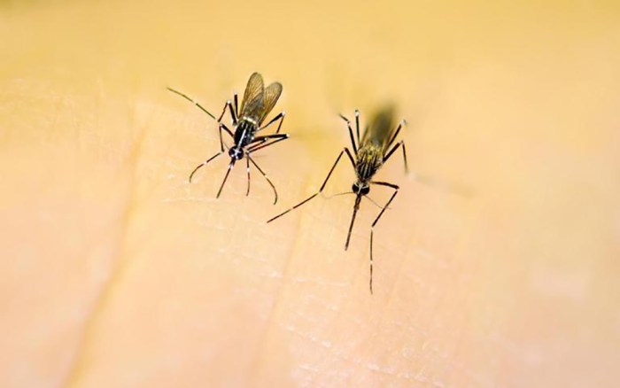 Aedes spp.