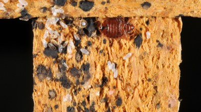 Bed bugs at the bottom of an end table