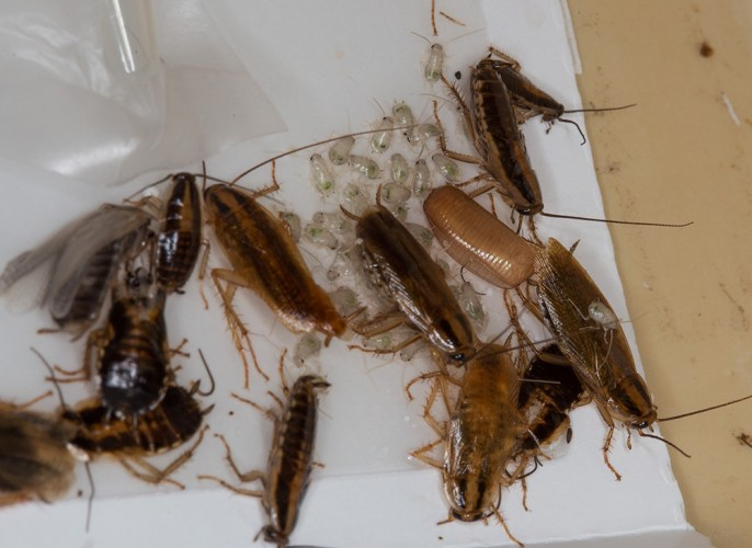 German cockroaches caught on a sticky trap