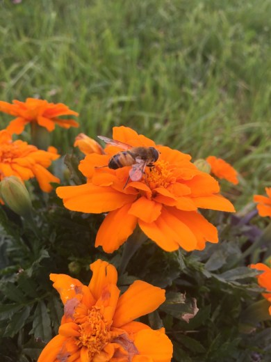 Syrphid fly on marigold