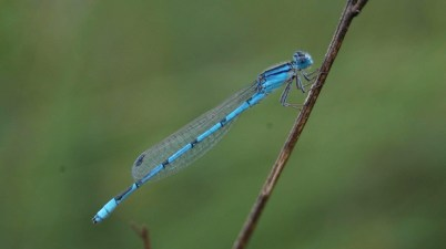Enallagma civile - familiar bluet damselfly