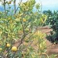 citrus greening – trees