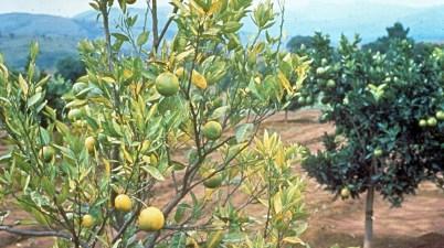 citrus greening - trees