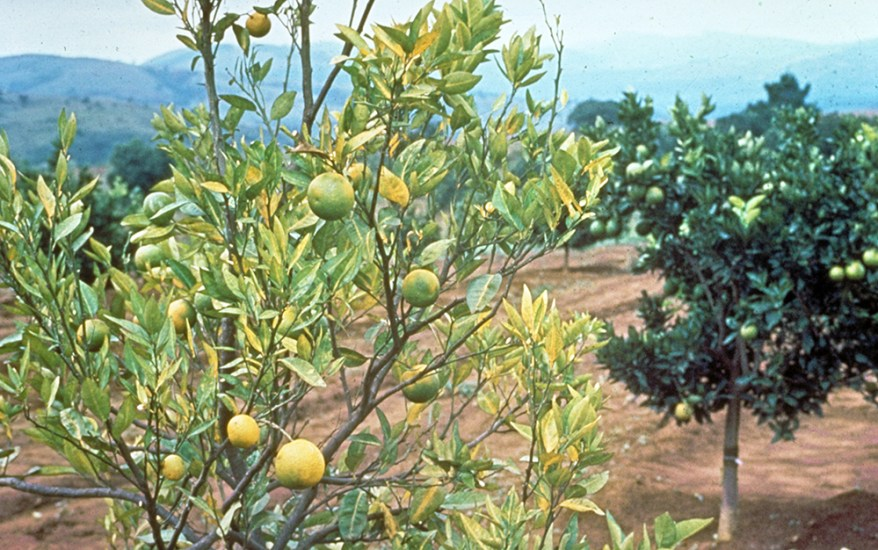 citrus greening - trees