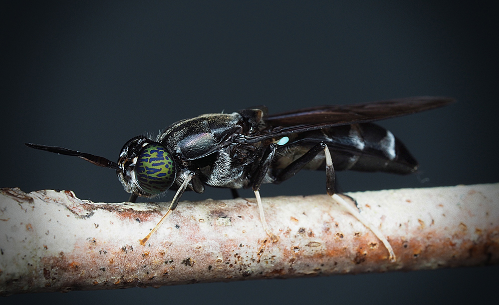 Black Soldier Flies Show Potential as Source of Antimicrobial Compounds