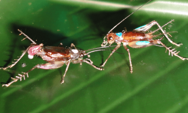 Laupala cerasina (Hawaiian swordtail crickets)