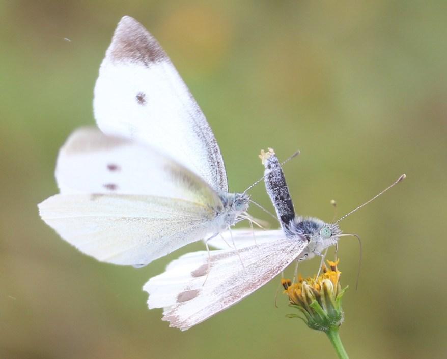 Pieris rapae butterflies