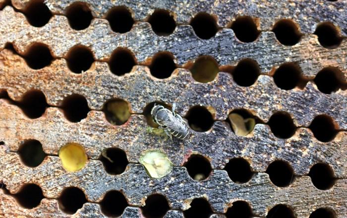 alfalfa leafcutting bee (Megachile rotundata) at nest box