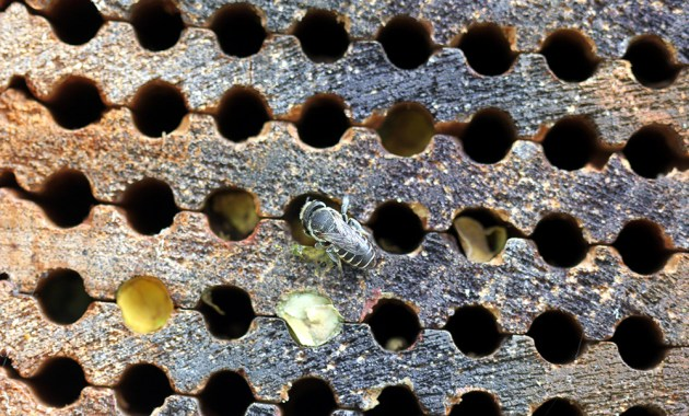 alfalfa leafcutting bee (Megachile rotundata) at nest box