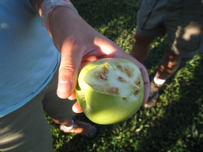 Apple feeding damage by brown marmorated stink bug