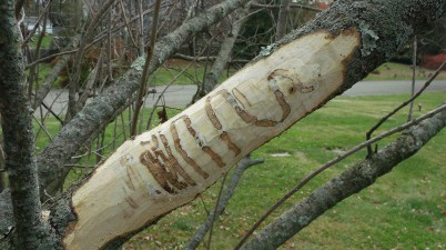 emerald ash borer gallery in white fringetree