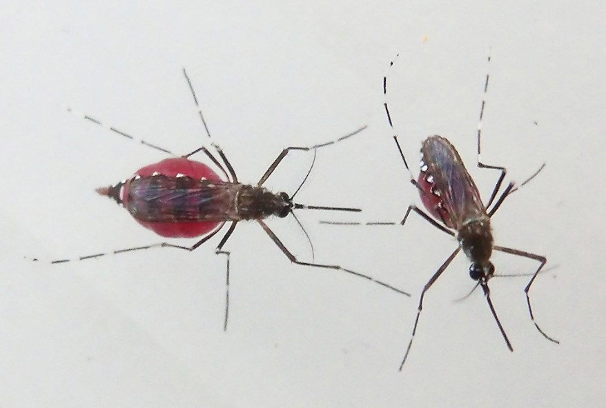 engorged Aedes aegypti mosquitoes
