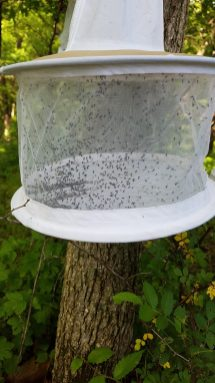 black flies in trap