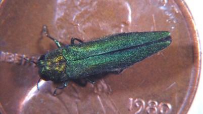 emerald ash borer adult