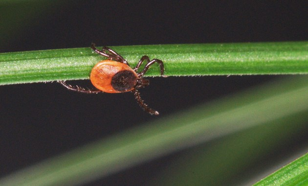 questing blacklegged tick (Ixodes scapularis)