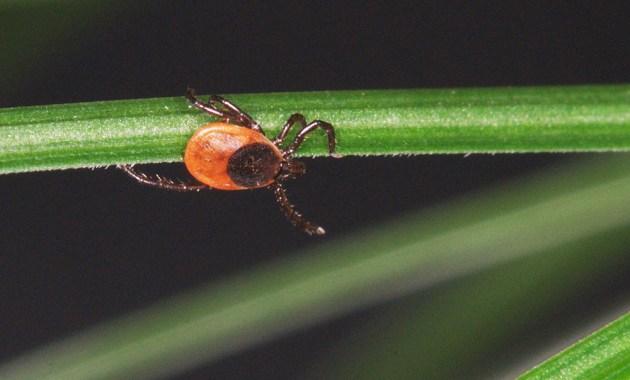 questing blacklegged tick (Ixodes scapularis)