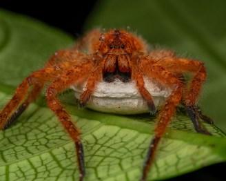 Heteropoda sp. spider